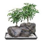 Hawaiian Umbrella Tree Bonsai Plant 5 Years Old w Humidity Tray