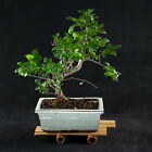 Sageretia Theezans Shohin Bonsai Tree Bird Plum  0649