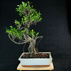 Taiwanese Ficus Chuhin Bonsai Tree Tiger Bark  2340
