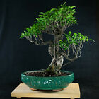 Amazing Large Taiwanese Ficus Bonsai Tree Tiger Bark  1490