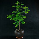 Chinese Dawn Redwood Kifu Bonsai Tree Metasequoia glyptostroboides  2673