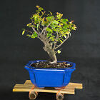 Sageretia Theezans Mame Shohin Bonsai Tree Bird Plum  2253
