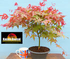 Japanese Maple Bonsai Starter Tree Red Japanese Maple