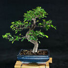 Chinese Elm Kifu Bonsai Tree Ulmus parvifolia  2493