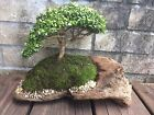 21 Year Old Kingsville Dwarf Boxwood Bonsai Tree Buxus microphylla