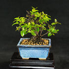 Fruiting Sageretia Theezans Mame Shohin Bonsai Tree Bird Plum  2574