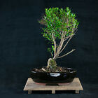 Syzygium Small Leaves Shohin Bonsai Tree  A 0055