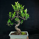 Taiwanese Ficus Chuhin Bonsai Tree Tiger Bark  3303