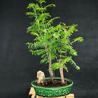Chinese Dawn Redwood Shohin Bonsai Tree Metasequoia glyptostroboides  3054