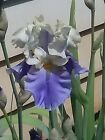 Dream Of You~ Tall Bearded Iris, Bare Root Rhizome. Buy 3 Get 1 Bonus Iris