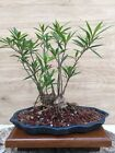 Narrow Willow Leaf Ficus Forest Bonsai