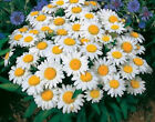 Shasta Daisy 300 Seeds Beautiful White Flowers with a Yellow Center