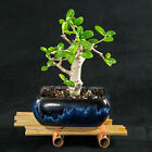 Chinese Fukien Tea Mame Shohin Bonsai Tree Carmona Microphylla  3171
