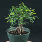 Chinese Tiny Leaves Elm Pre Shohin Bonsai Material Ulmus parvifolia  3446