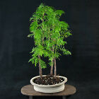 Chinese Dawn Redwood Shohin Bonsai Tree Metasequoia glyptostroboides  3567