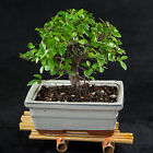 Sageretia Theezans Shohin Bonsai Tree Bird Plum  3199
