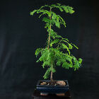 Chinese Dawn Redwood Shohin Bonsai Tree Metasequoia glyptostroboides  3542