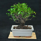 Sageretia Theezans Shohin Bonsai Tree Bird Plum  3377