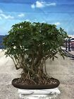 Dwarf Hawaiian Umbrella Bonsai Tree Indoor Plant Great Gift Office Home
