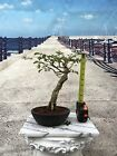 Shohin Brazilian Rain Tree With Some Dead Wood Bonsai