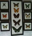 Real Butterflies taxidermy