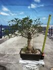 Narrow Willow Leaf Ficus Bonsai