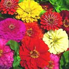 301+GIANT DAHLIA ZINNIA MIX Flower Seeds 10 COLORS Big 5 Blooms Summer to Fall