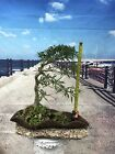 Wind Swept Style Narrow Willow Leaf Ficus Bonsai