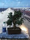 Beautiful Shohin GREEN ISLAND FICUS Bonsai Tree