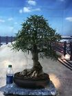 Shohin Narrow Willow Leaf Ficus Bonsai