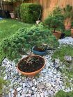 Shimpaku Juniper Bonsai Blaauwii Huge 20 Years Old