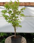 live Japanese maple bonsai tree