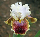 Tall Bearded Iris Rhizome  * SCATTERBRAIN *  Bright white. red and gold