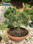 Shimpaku Juniper Bonsai Large  Plant Only No Pot