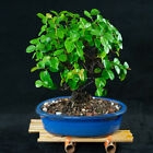 Sageretia Theezans Mame Shohin Bonsai Tree Bird Plum  4909