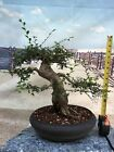 Beautiful Chinese Elm Bonsai Outdoor Indoor