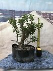 Pixie bougainvillea flowering Pre bonsai
