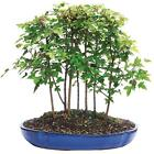 Brussels Live Trident Maple Forest 7 Tree Outdoor Bonsai Tree 3 Years Old 8
