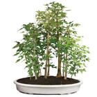 Brussels Trident Maple Grove Bonsai XXX Large Outdoor