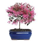 Brussels Live Fringe Flower Outdoor Bonsai Tree 3 Years Old 8 to 12 Tal