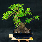 Chinese Privet Shohin Bonsai Tree Ligustrum Sinense  5630