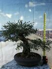 Gorgeous CHINESE ELM Bonsai Tree
