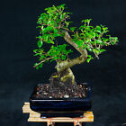 Chinese Privet Shohin Bonsai Tree Ligustrum Sinense  5618