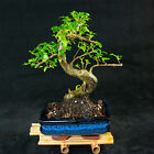 Chinese Privet Shohin Bonsai Tree Ligustrum Sinense  5624