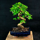 Flowering Chinese Fukien Tea Shohin Bonsai Tree Carmona Microphylla  5896