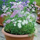 200+DIANTHUS RAINBOW LOVELINESS MIX Flower Seeds 5 COLORS Long Lasting Blooms