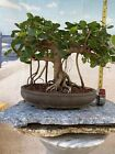 Gorgeous GREEN ISLAND FICUS Bonsai Tree