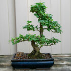 Chinese Privet Chuhin Bonsai Tree Ligustrum Sinense  6623
