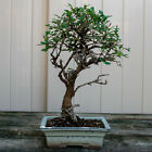 Chinese Elm Kifu Bonsai Tree Ulmus parvifolia  6662