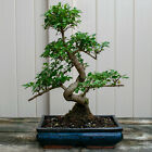 Chinese Privet Chuhin Bonsai Tree Ligustrum Sinense  6620